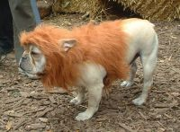 cowardly lion costume for dog | Dogs...especially bulldogs ...