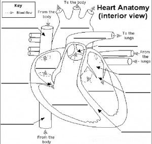 13 best images about Circulatory system on Pinterest