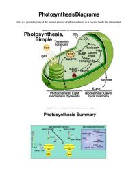 Photosynthesis And Cellular Respiration Activity Middle ...