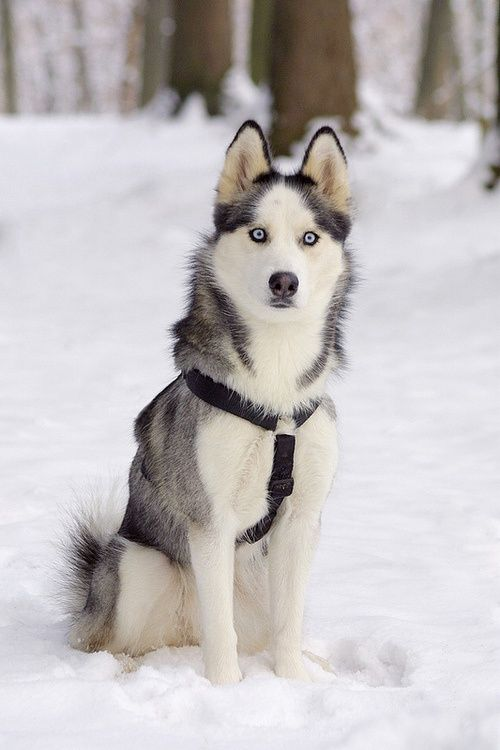 Cute Husky Puppies With Blue Eyes Wallpaper Gorgeous Siberian Husky In Snow Click On Picture To See