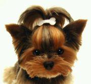 yorkie haircut