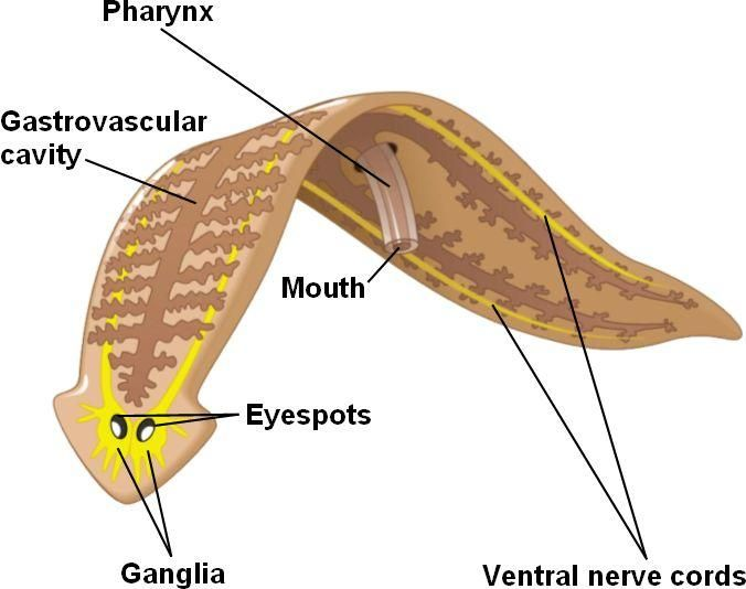 Another diagram of Phylum Platyhelminthes  Phylum