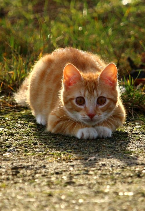 25 best ideas about Red Cat on Pinterest  Ginger cats