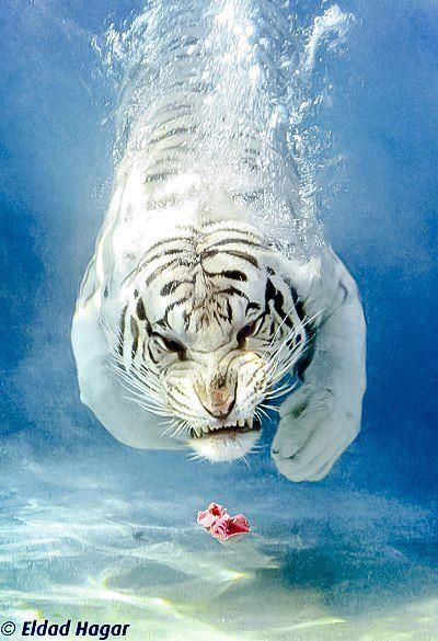 Diving White Tiger. Amazing.