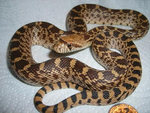 Cute Baby Gecos Wallpaper Bull Snake Family Colubridae Harmless And Egg Laying