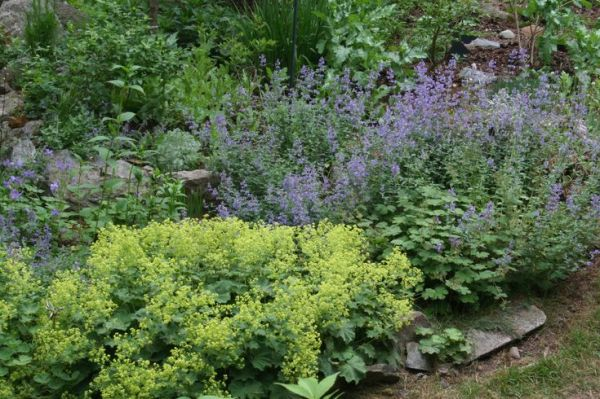 ladys mantle catmint and lady's