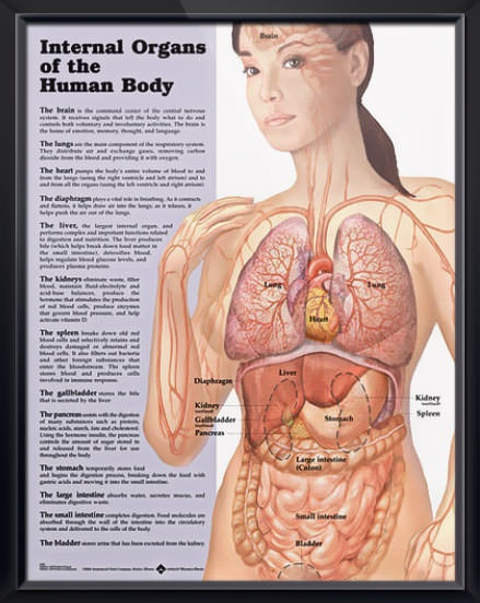 Simple Diagram Of Human Lungs Internal Organs Anatomy Poster The O Jays Nurses And Charts