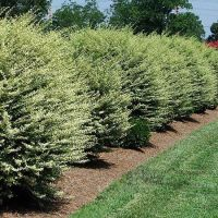 Variegated Privet | Traditional, Hedges and Trees