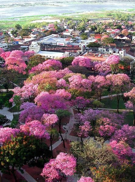 Lapachos rosados ASUNCION PARAGUAY City Travel Pinterest