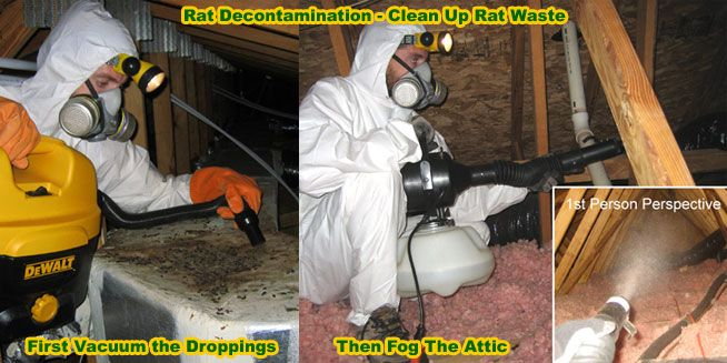 How to Clean Rat Feces Urine Waste Poop Mouse and Rodent Droppings in the Attic  houses