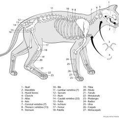 Cow Skeleton Bones Diagram Subaru Forester Exhaust System Printable Cat | Veterinary Play Pinterest Skeletons And Worksheets