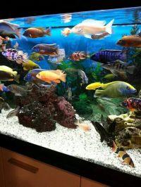 Best 20+ Cichlid Aquarium ideas on Pinterest