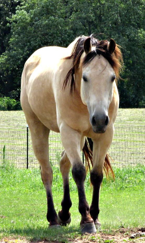 1000 images about Horse Color Buckskin on Pinterest