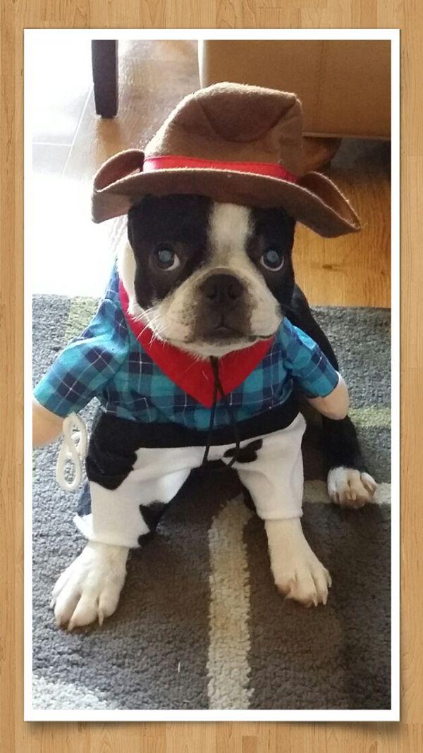 1000 ideas about Boston Terrier Costume on Pinterest