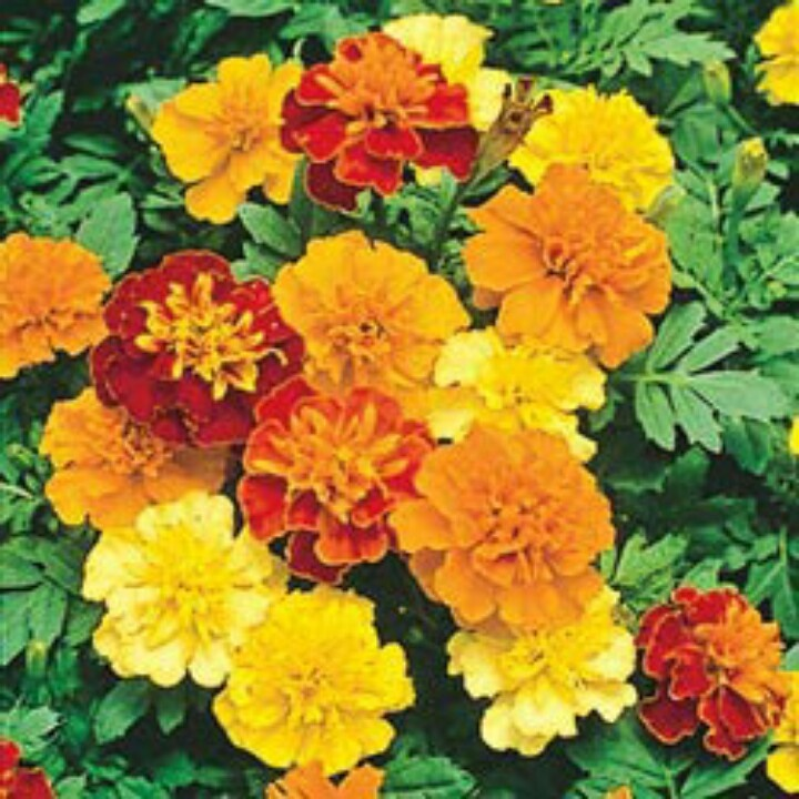 1000+ Images About Marigolds On Pinterest  Happy Colors