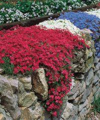 Fragrant Carpet Phlox Garden These brightly hued plants ...
