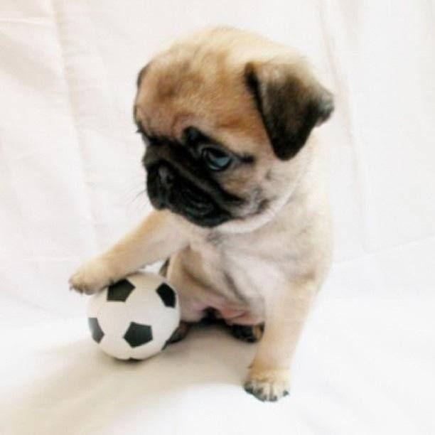 soccer pug player  Pugs lover  Pinterest  Soccer and Pug
