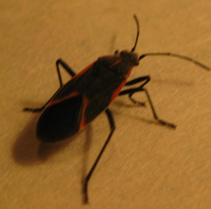 513 lots of boxelder bugs sleep to dream pinterest