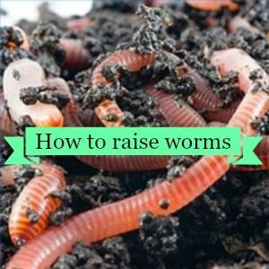 How To Raise Worms Homesteading Guide