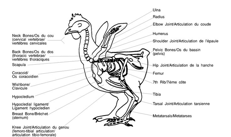 for photo diagram of meat cuts poultry skeletal diagram