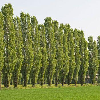 Best 25 Poplar Tree Ideas On Pinterest