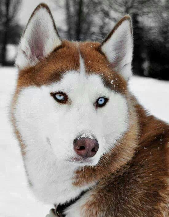 Gorgeous blue eyes Alaskan malamute Too Cute