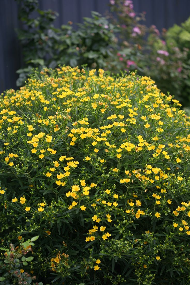 25 yellowish flowering landscaping plants pictures and ideas on pro rh prolandscape info