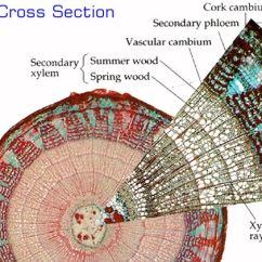 Corn Anatomy Diagram Off Road Lights Wiring Tilla Stem Cross Section | Inspiration Things. Pinterest Student-centered Resources, Labs ...