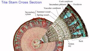 tilla stem cross section   inspiration things   Pinterest   Studentcentered resources, Labs