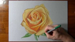 rose yellow draw drawing pencil realistic roses sketch drawingartpedia watercolor