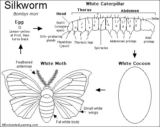 Silkworm informative worksheet and diagram (great to use