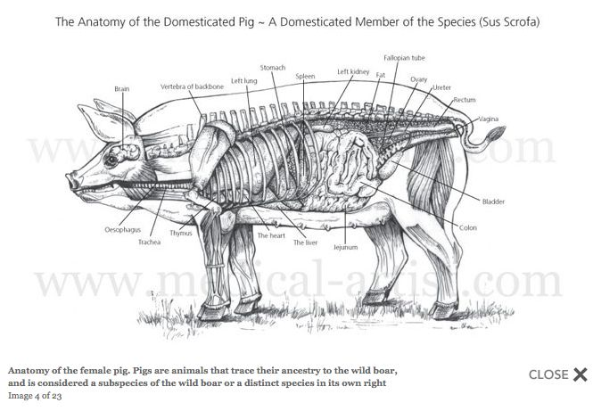 skeletal muscle diagram labeled 240 volt well pump wiring female pig anatomy | veterinary pinterest pigs, search and