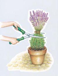 ber 1.000 Ideen zu Lavendel Pflanzen auf Pinterest ...