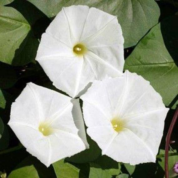 'Ipomea alba è una pianta perenne ma viene coltivata come annuale nelle zone dal clima freddo.