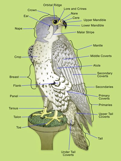 human skeleton diagram labeled for kids 2003 harley electra glide wiring basic anatomy of a peregrine falcon | veterinary & medicine pinterest ...