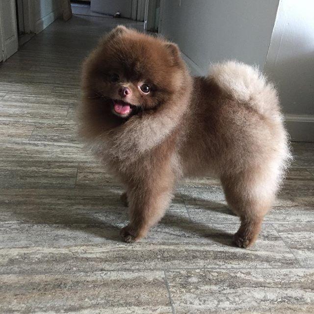 25 Best Ideas About Pomeranian Haircut On Pinterest