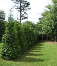 1000+ ideas about Thuja Green Giant on Pinterest | Privacy ...