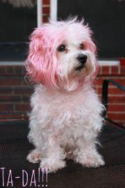 ideas dog hair dye