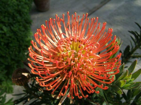 Pincushion Flower 39Succession 139 B l o o m s Pinterest