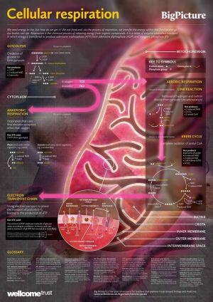 Cellular Respiration Diagram | Science Infographics | Pinterest | Anaerobic respiration, Plants