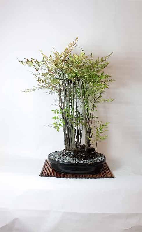 Mature Heavenly Nandina Bamboo Bonsai Tree by