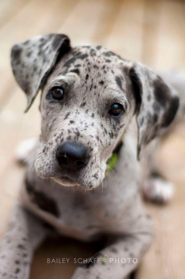 Cutest Great Dane Puppy Ever Great Dane39s Pinterest
