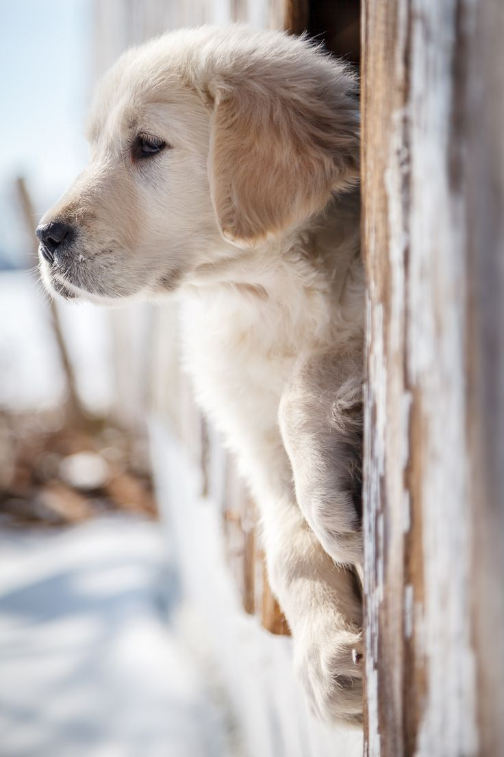 Cute Fluffy Dogs Wallpaper Best 25 Golden Retriever Names Ideas On Pinterest Cute