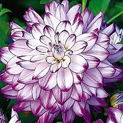 """Dinnerplate Dahlia – i love these huge blooms – this variety (the """"who dun it"""")"""