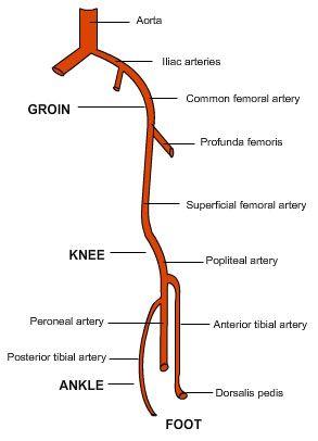iliac artery branches  Google Search | ANATOMY