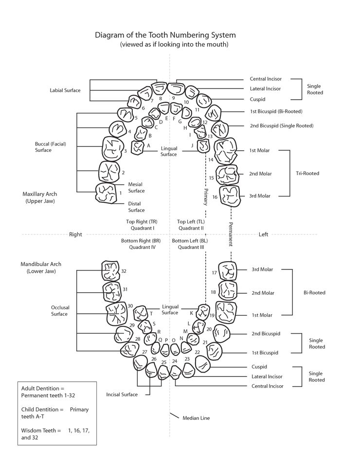 Diagram-of-the-Tooth-Numbering-System.png (PNG Image, 1275