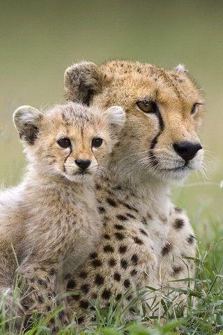 Small Cute Baby Kissing Wallpaper 25 Best Ideas About Baby Cheetahs On Pinterest Cheetahs