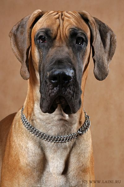 1122 best images about My Love Of The Great Dane Dog Breed