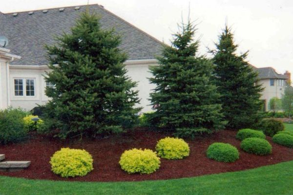 beautiful landscaping with evergreens