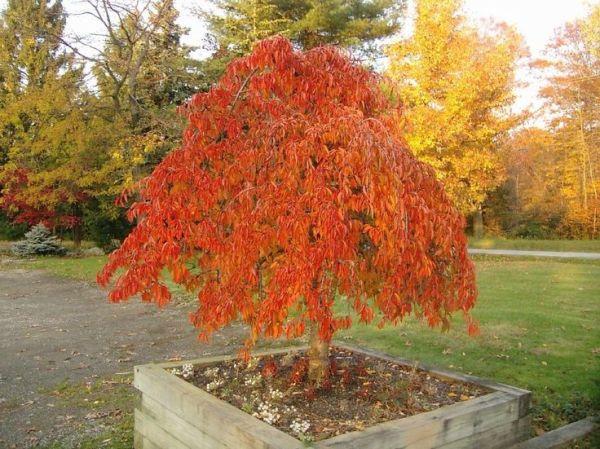 dwarf ornamental trees prunus